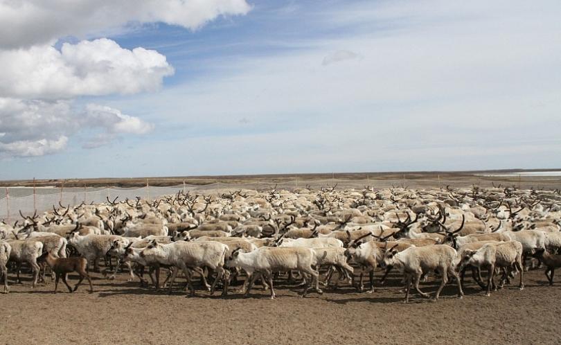 Вакцинацию отсибирской язвы получила только  десятая часть ямальского стада